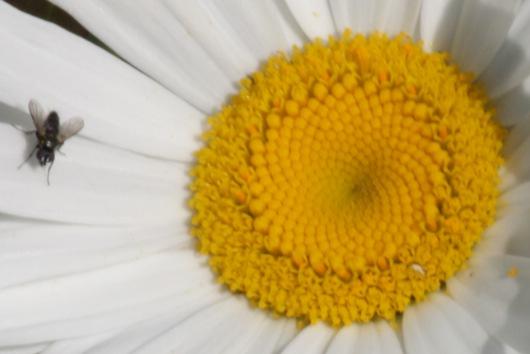 Margarite mit Fliege