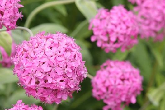 Pinkfarbene Blütendolden